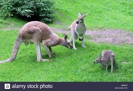 immature kangaroo stock photos u0026 immature kangaroo stock images