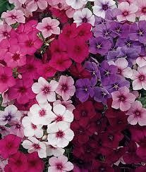 phlox flower summer majesty hybrid phlox seeds and plants annual flower garden