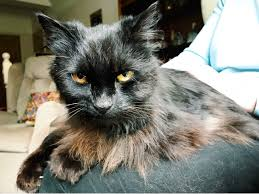affenpinscher shaved cat in one of the stars i shall be living