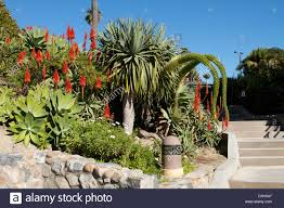 Plants Blooming Aloe Vera And Tropical Plants Blooming In Heisler Park Laguna