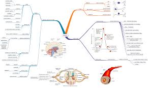 Nervous System Concept Map Mind Map Of Neurons And Central Nervous System 12 Atar Human Biology