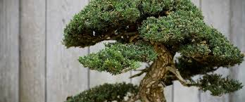 how to take care of your bonsai tree atlanta homes guide