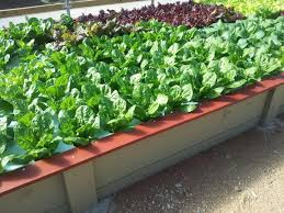 vegetable gardening with aquaponic system benefits of aquaponic