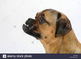 pug x boxer dog pug mongrel stock photos u0026 pug mongrel stock images alamy