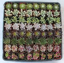 140 beautiful succulents for wedding party favors in the uae