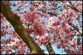Cherry Blossom Facts by Outdoor U0026 Garden Design Saucer Magnolia Tree For Garden Or Park