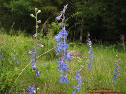 delphinium flower larkspur delphinium carolinianum ozarkedgewildflowers