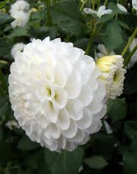 white flower white flower bushes pics yahoo search results gardens