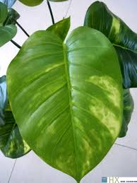 imitation plants home decoration wholesale 13 leaves pcs scindapsus aureus plants artificial tree