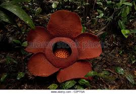 Largest Flower In The World Rafflesia Flower Worlds Largest Flower Stock Photos U0026 Rafflesia