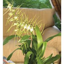 oncidium orchid shop oncidium orchid l296hp at lowes