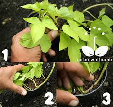 ornamental sweet potato vine layering propagation mrbrownthumb