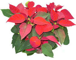 christmas plant send christmas plant to cyprus by flowers cyprus