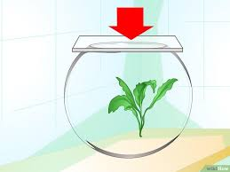 Beta Fish In Vase Cómo Cuidar De Un Pez Beta En Un Jarrón 16 Pasos