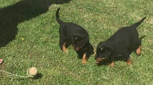 belgian shepherd for sale philippines roxy rottweiler puppy for sale euro puppy