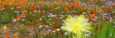 South African Wild Flowers - travel and safaris in southern africa african travel gateway