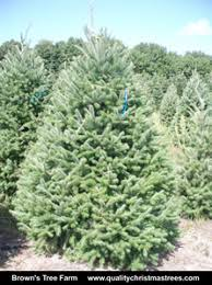 douglas fir tree buy douglas fir christmas trees online