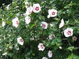 Shrub Small White Flowers - fafardflowering shrubs for fall