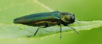 Emerald Emerald Ash Borer Colorado State Forest Service