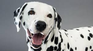 dalmatian dog breed information american kennel club