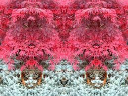 ornamental japanese maple being by aegiandyad on deviantart