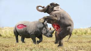 elephant vs rhino real fight animal world animals fight youtube