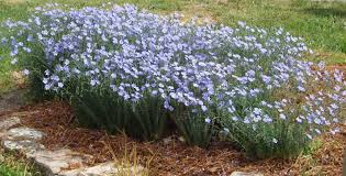 native plants of arizona linum lewisii prairie flax native blue flax seed u0026 plants