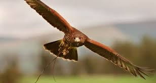 record number of birds of prey were poisoned last year