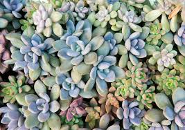 choosing zone 9 succulents what succulents grow well in zone 9