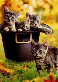 kittens in pilgrim hat cat thanksgiving card by avanti press
