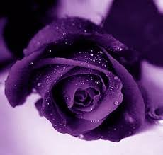 purple roses for sale pictures gallery purple purple meaning purple