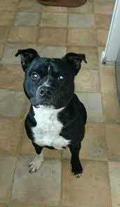 american pitbull terrier 7 months 1 year 7 month old beautiful staffy boy westbury wiltshire