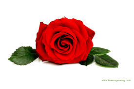 Flower Rose Red Rose Flower Images 6 Hd Wallpaper Hdflowerwallpaper Com