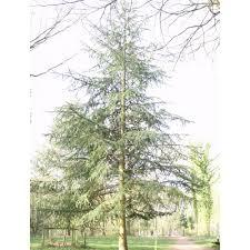 cedar trees conifer trees for sale ornamental tree ltd