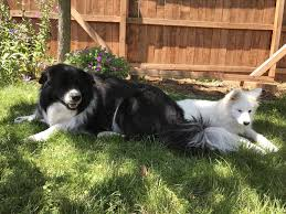 bearded collie x border collie puppies for sale samoyed border collie mix puppies dog and cat