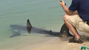 Great White Shark Attack Cape Cod - shark21 jpg