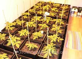 plant light for weed marijuana grow journal northern lights 2kg