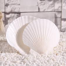 Shell Home Decor Beautiful Diy Crafts Natural Sea Shells 13 14cm White Color Home