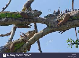 three green iguanas iguana iguana sun themselves in a tree near