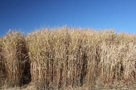 helping switchgrass survive winter will boost its biofuel
