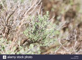 thymus frangrantissimus lemon thyme citrus thyme ornamental