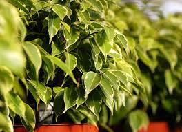 plant allergies 8 plants never grow vila