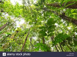canopy amazon looking up to the rainforest canopy in the ecuadorian amazon stock