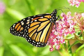 a farewell to ideas on the vanishing monarch