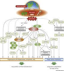 high heat plants transcriptional regulatory network of plant heat stress response