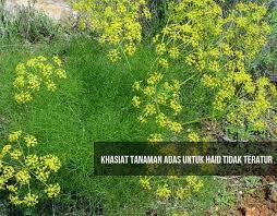 Teh Adas khasiat tanaman adas untuk haid tidak teratur 9 obat sakit