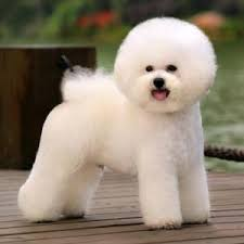 bichon frise long hair bichon frises have an easy and happy disposition lovely dog