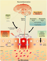 Blood Brain Barrier Anatomy Frontiers Breaking Down The Barriers The Gut Microbiome