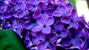 purple flower free purple flower wallpapers images wallpapers