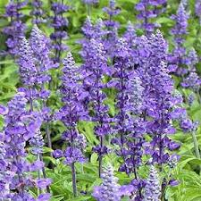 salvia flower salvia seed salvia farinacea blue flower seeds